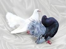Paia delle colombe Fotografia Stock