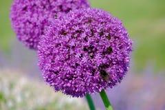 Paia delle fioriture dell'allium Fotografia Stock