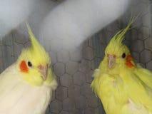 Paia di Cockatail Fotografia Stock Libera da Diritti