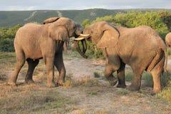 Paia di combattimento degli elefanti africani Fotografia Stock