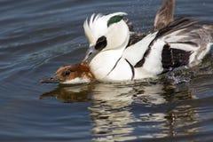 Paia di copulare delle anatre Fare sesso maschio e femminile degli uccelli dello smew fotografia stock