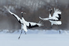 Paia di dancing della gru Rosso-incoronata con l'ala aperta in volo, con la tempesta della neve, l'Hokkaido, Giappone Fotografie Stock