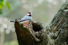 Paia di Java Sparrow sull'albero, una cavità interna fotografia stock