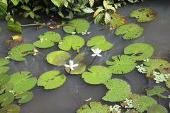 Paia di Lotus Fotografia Stock