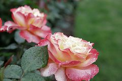 Paia di Rose Garden Sherbert Pink Petal Fotografia Stock Libera da Diritti