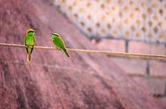 Paia indiane degli uccelli di orientalis del Merops Fotografie Stock Libere da Diritti