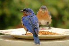 Paia orientali dell'uccellino azzurro all'alimentatore Fotografia Stock Libera da Diritti