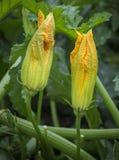 Paia variopinte dei fiori della zucca Immagine Stock Libera da Diritti