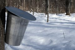 Pail for collecting maple sap. Maple syrup season. Pail used to collect sap of maple tree to produce maple syrup royalty free stock images