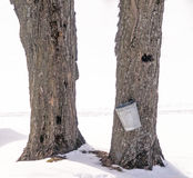 Pail for collecting sap from maple tree Stock Photo