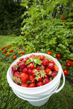 Pail of fresh strawberries in garden Stock Photo