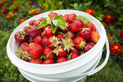 Pail of fresh strawberries in garden Royalty Free Stock Photos
