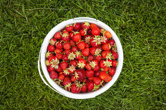 Pail of fresh strawberries on green grass Stock Photos