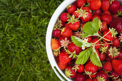 Pail of fresh strawberries on green grass Stock Photography