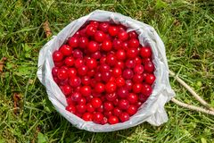 Pail Full of Cherries royalty free stock images