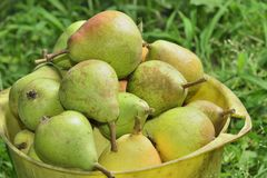 Pail with pears Royalty Free Stock Photos