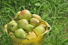 Pail with pears Royalty Free Stock Photo