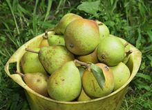 Pail with pears Stock Images