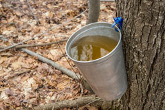 Pail used to collect sap of maple trees Stock Images