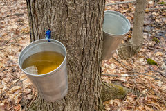 Pail used to collect sap of maple trees. To produce maple syrup in Quebec stock photography