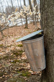 Pail used to collect sap of maple trees Royalty Free Stock Image