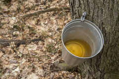 Pail used to collect sap of maple trees royalty free stock photo