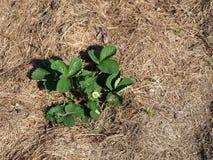 Paillé avec l'herbe 3 photo libre de droits
