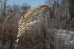 Paille blanche d'herbe de gel photos libres de droits