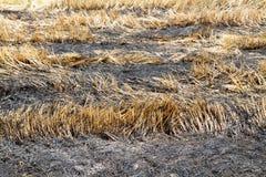 Paille brûlante dans la plantation de riz photo stock