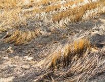 Paille brûlante dans la plantation de riz photos stock