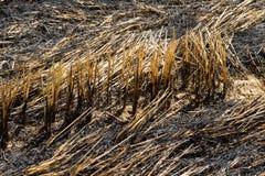 Paille brûlante dans la plantation de riz images stock