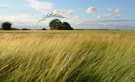 Paille d'herbe au-dessus de zone d'orge Images libres de droits