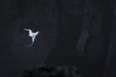 Paille en Queue or Phaeton bird, Reunion island. Paille-en-Queue or Phaeton bird in natural scenery, Reunion Island Stock Photo