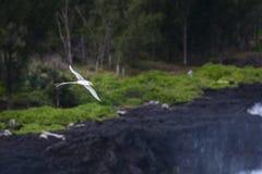 Paille en Queue or Phaeton bird, Reunion island. Paille-en-Queue or Phaeton bird in natural scenery, Reunion Island Stock Photography