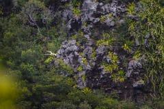 Paille en Queue or Phaeton bird, Reunion island. Paille-en-Queue or Phaeton bird in natural scenery, Reunion Island Stock Images