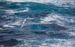 Paille en Queue or Phaeton bird, Reunion island. Paille-en-Queue or Phaeton bird in natural scenery, Reunion Island Royalty Free Stock Photo
