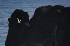 Paille en Queue or Phaeton bird, Reunion island. Paille-en-Queue or Phaeton bird in natural scenery, Reunion Island Stock Photos