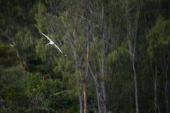 Paille en Queue or Phaeton bird, Reunion island. Paille-en-Queue or Phaeton bird in natural scenery, Reunion Island Stock Image