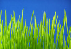 Pailles d'herbe verte image stock