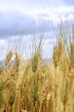 Pailles de blé Image libre de droits
