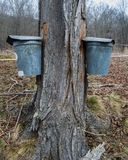 Pails Collecting Sap To Make Maple Syrup. Two pails on maple tree collecting sap to produce maple syrup and other maple products royalty free stock photos