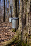 The sugar bush at Swine Creek. Royalty Free Stock Photography