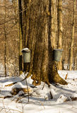 Maple tree tapping Stock Photography