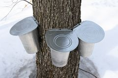 Pails on a maple tree for collecting sap Royalty Free Stock Image