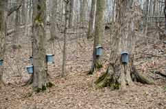 Pails and taps on maple trees to collect sap. Pails and taps hang from maple trees at this Michigan farm, where sap is collected to hold the delicious stuff used royalty free stock photo