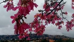 Paineira в цветке стоковые фото