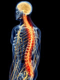 Painful spine. Medically accurate illustration - painful spine Stock Photos