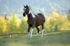 Paint Arabian Horse. Paint Gelding trotting on meadow Stock Images