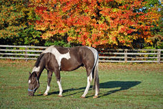 Paint horse in autumn pasture. Paint horse grazing in pasture with fence and autumn trees Horse feeding in a colorful pasture stock image