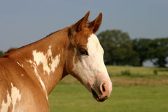 Paint Colt. Portrait of a paint colt in morning sunlight, green pasture and trees in background Royalty Free Stock Photo